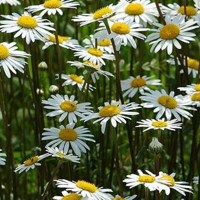 Marguerite Daisy Perennial Flower · Free photo on Pixabay
